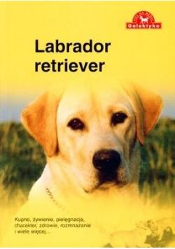 Pies na medal. Labrador Retriever